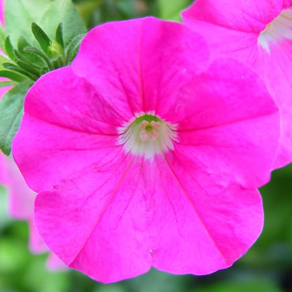 Petunia Trailing Pink - Rooted Cutting Liner