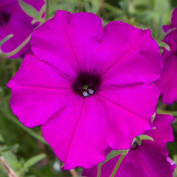 Petunia Trailing Purple - Rooted Cutting Liner