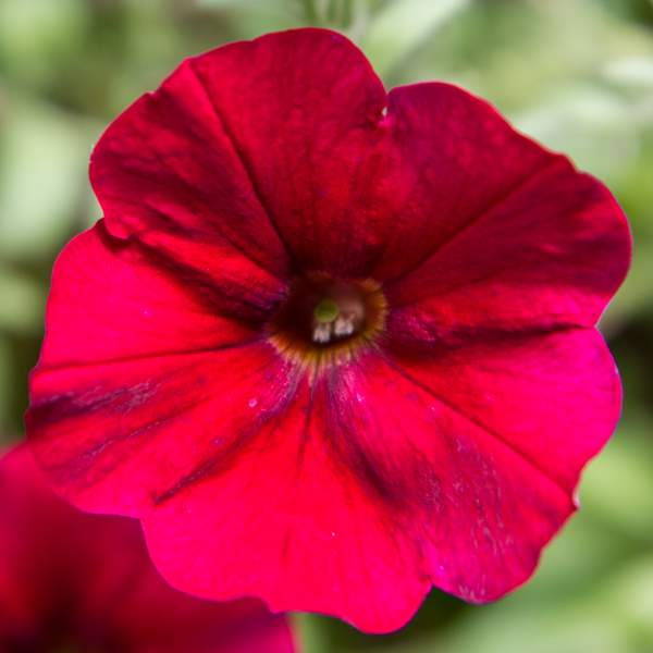 Image Of Petunia Trailing Red