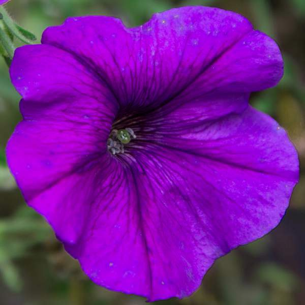 Petunia Trailing Violet - Rooted Cutting Liner