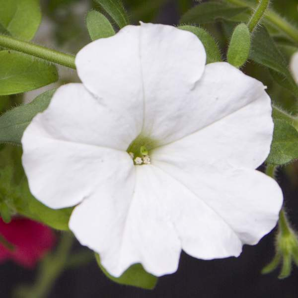 Petunia Trailing White