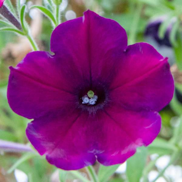 Petunia Trlg Imagination Lord Drinian