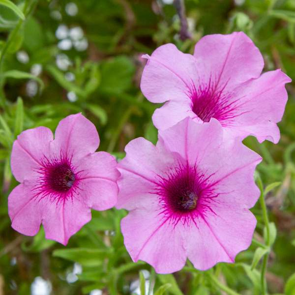 Petunia Trlg Imagination Polly Pink