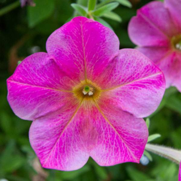 Petunia Trlg Imagination Rathmandu