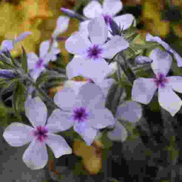 Phlox Chattahoochee - Rooted Cutting Liner