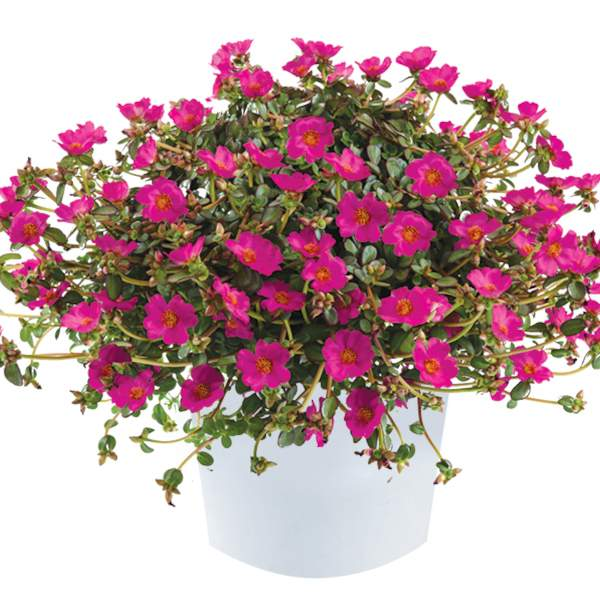 Portulaca Pazzaz Bright Purple - Rooted Cutting Liner