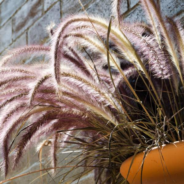 Image Of Purple Fountain Grass