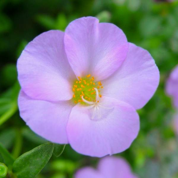 Image Of Purslane Bright Pink