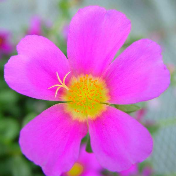 Image Of Purslane Big Bloom Evening Wine
