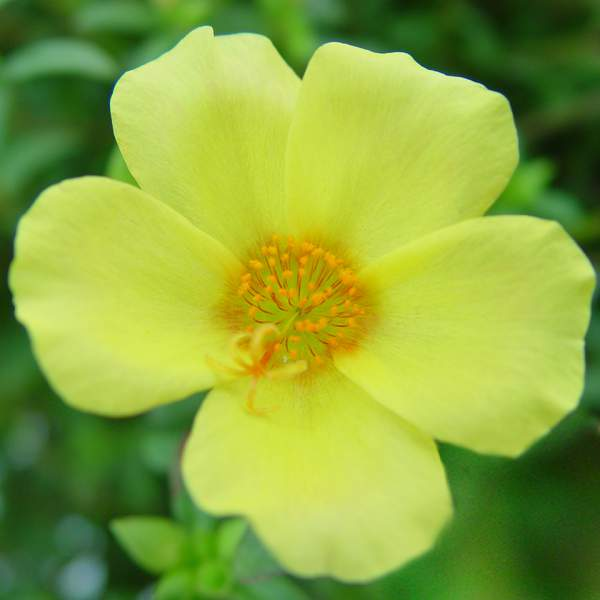 Image Of Purslane Big Bloom Gold