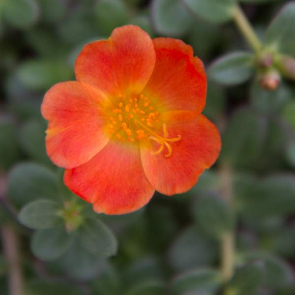Image Of Purslane Big Bloom Scarlet