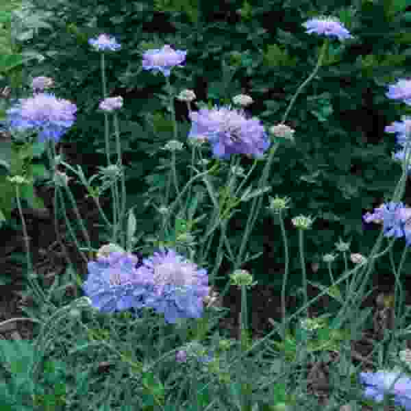 Image Of SCABIOSA BUTTERFLY BLUE