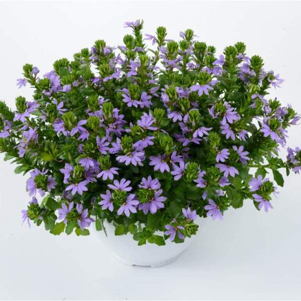Image Of Scaevola Blue Touch