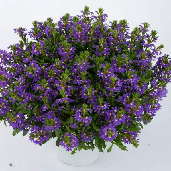 Scaevola Purple Haze - Rooted Cutting Liner