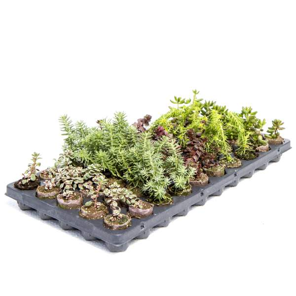 Image Of Succulents Sedum Assortment