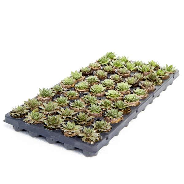 Image Of Succulents Sempervivum Assortment