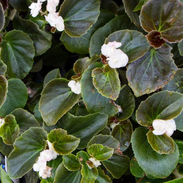 Image Of Begonia Double Lady Snow  White