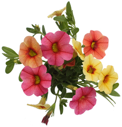 Calibrachoa Spring Fever Assorted  Soft Yellow Pink Peach  - Rooted Cutting Liner