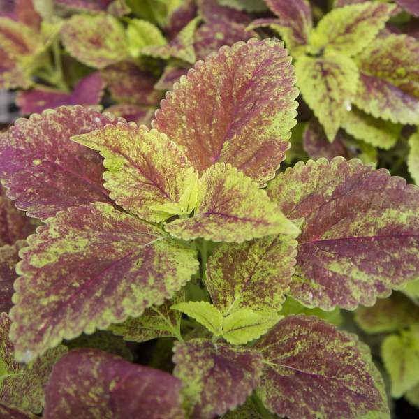 Coleus Alabama - Rooted Cutting Liner