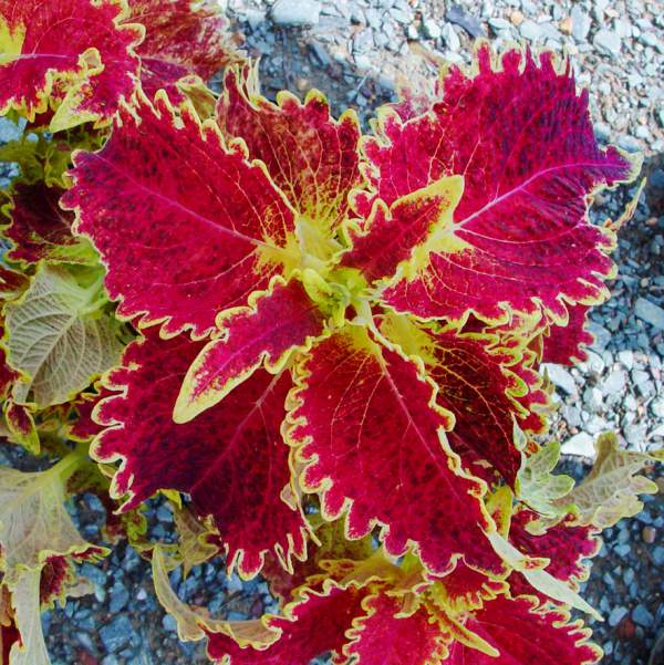 Coleus Bright Ruffles - Rooted Cutting Liner