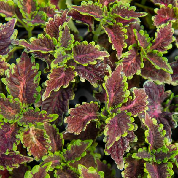 Coleus Burgundy Ruffles - Unrooted Cuttings
