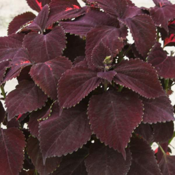 Coleus Chocolate - Rooted Cutting Liner