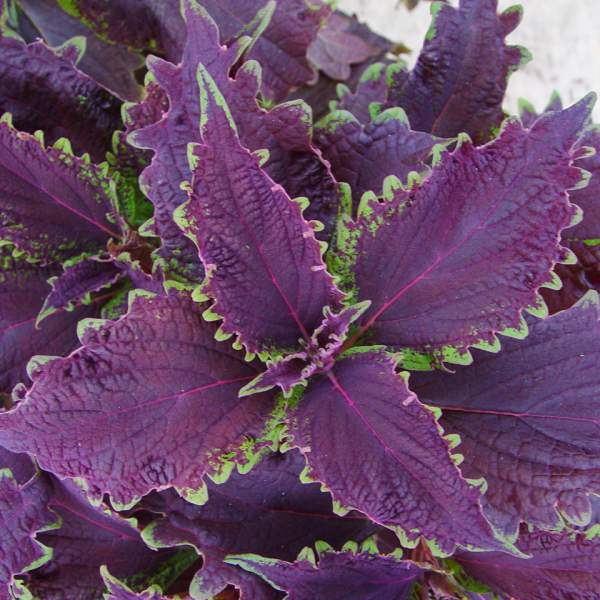 Coleus Dark Ruffles - Rooted Cutting Liner