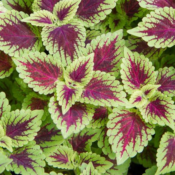 Coleus Defiance - Unrooted Cuttings