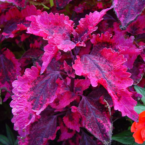 Coleus Hot Lava - Rooted Cutting Liner