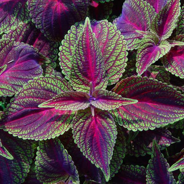 Image Of Coleus Lord Voldemort