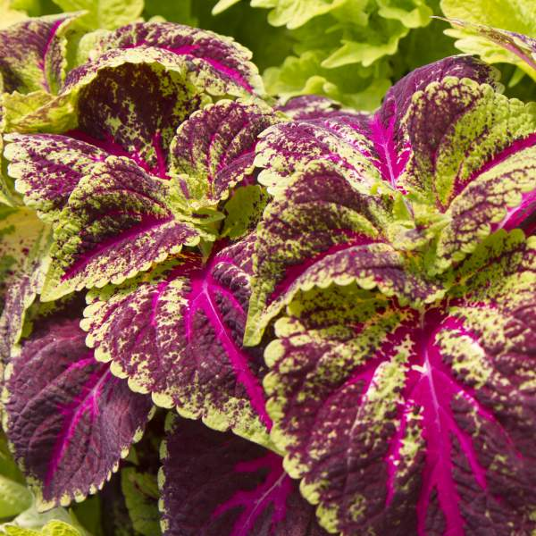 Coleus Magenta Sunrise - Rooted Cutting Liner