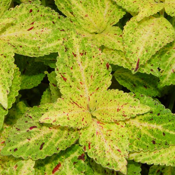 Coleus Mardi Gras - Rooted Cutting Liner