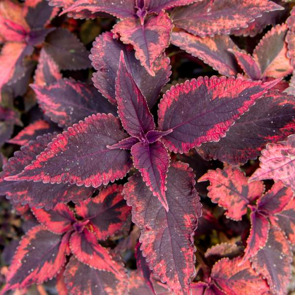 Coleus Mariposa - Rooted Cutting Liner