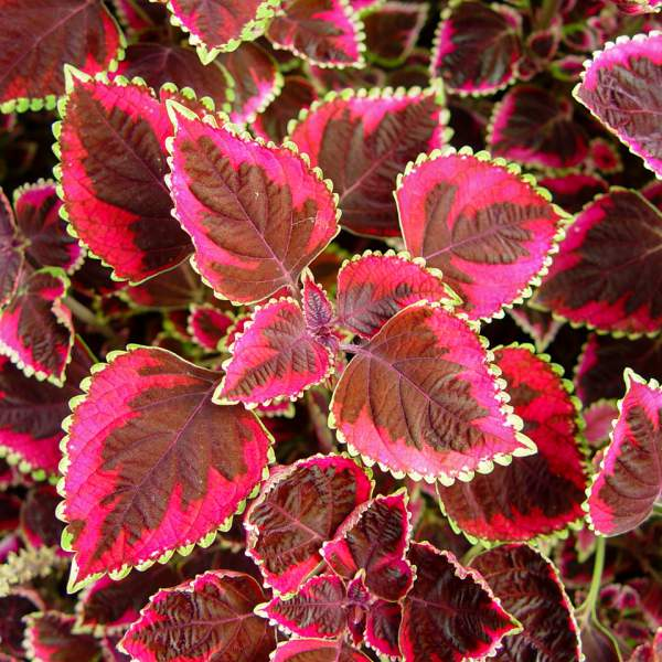 Image Of Coleus Meandering Linda