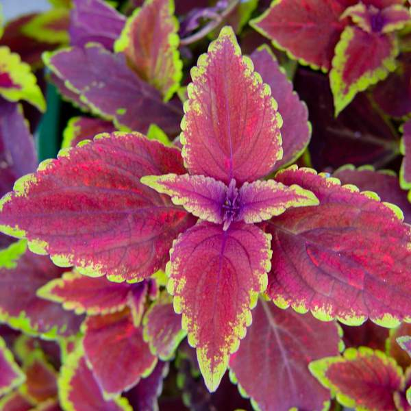 Coleus Oxblood - Rooted Cutting Liner