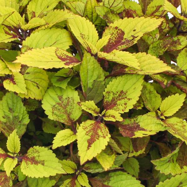 Image Of Coleus Pineapple