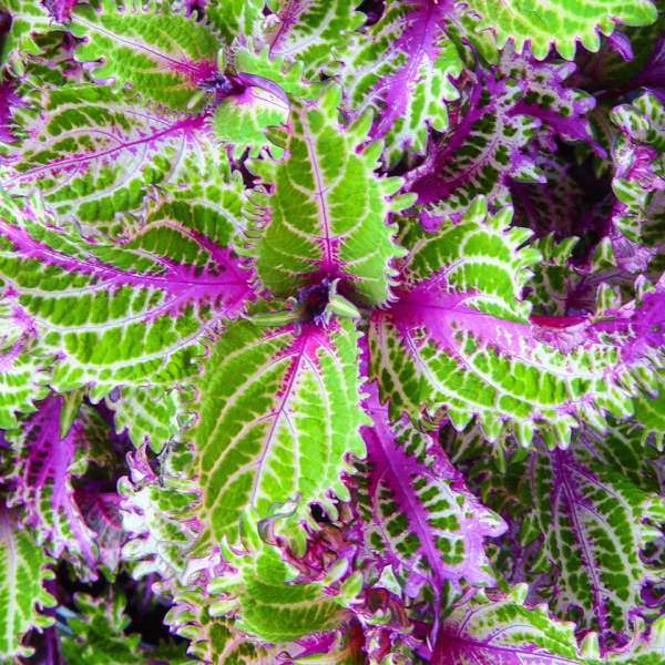 Coleus Pink Ruffles - Rooted Cutting Liner