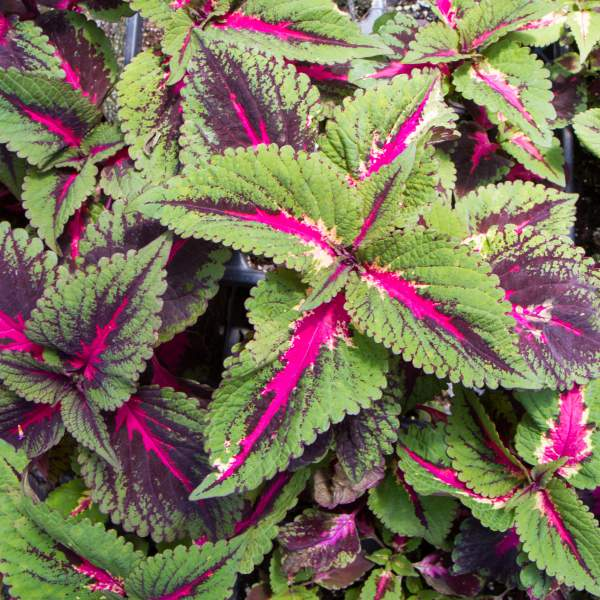 Coleus Pistachio Nightmare - Rooted Cutting Liner