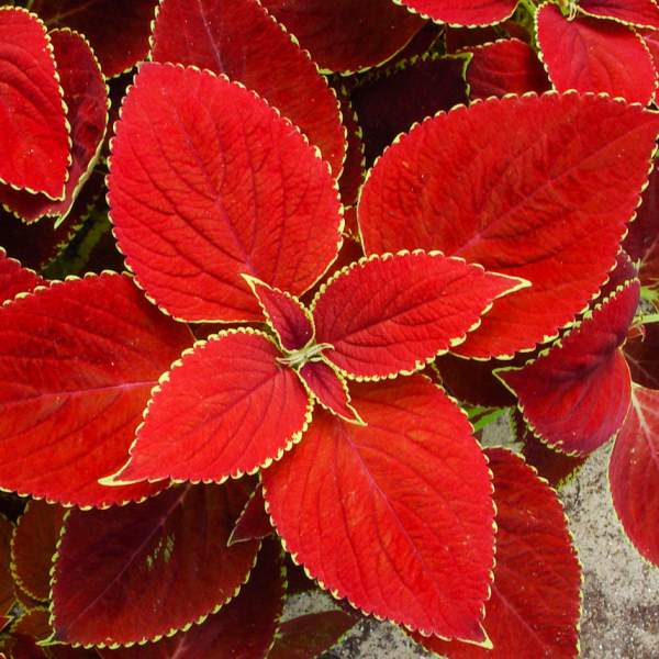 Image Of Coleus Red Coat