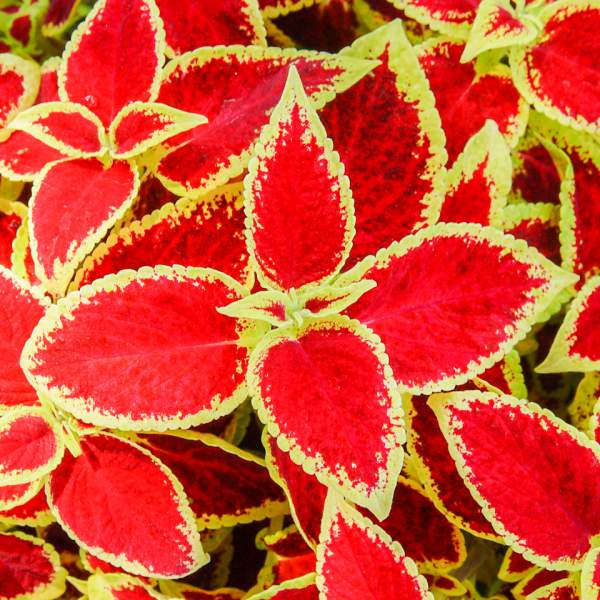 Image Of Coleus Red Roof