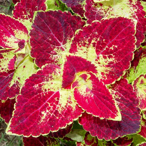 Coleus Sangria - Rooted Cutting Liner