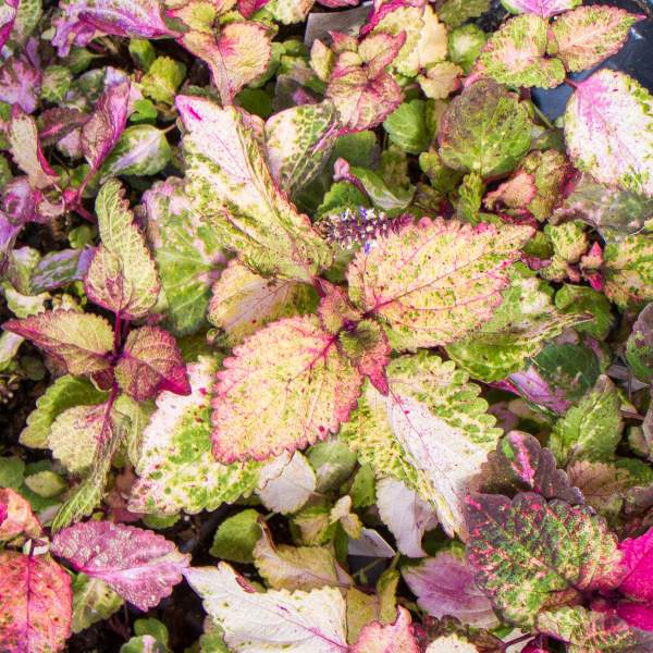 Coleus Silk Sunset - Rooted Cutting Liner