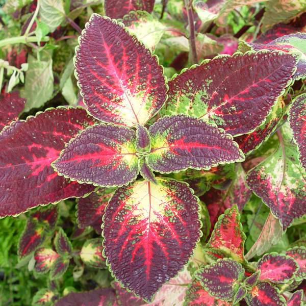 Coleus Solar Sunrise - Unrooted Cuttings