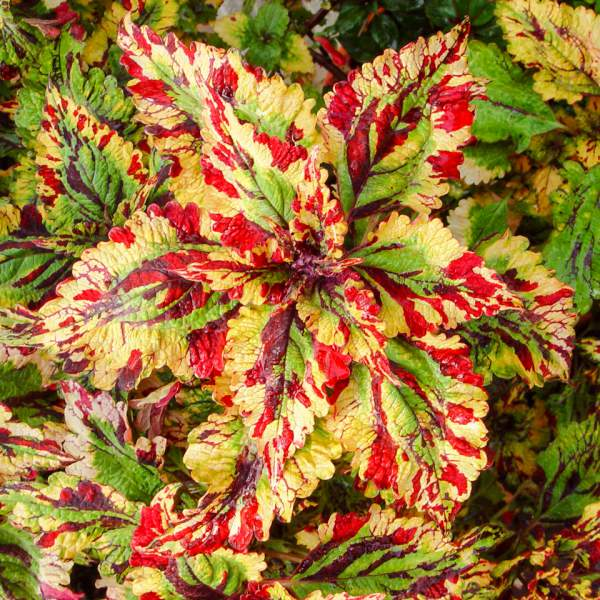 Coleus Stormy Weather - Rooted Cutting Liner