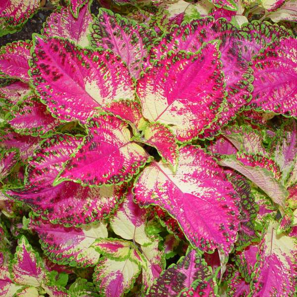 Image Of Coleus Tapestry