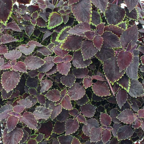 Coleus Trailing Burgundy - Rooted Cutting Liner