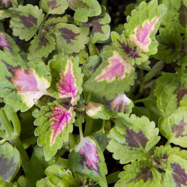 Coleus Trailing Pink - Rooted Cutting Liner