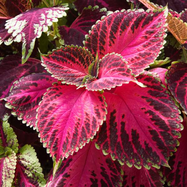 Coleus Watermelon Delight - Rooted Cutting Liner