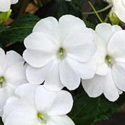Impatiens Sunpatiens Compact White - Rooted Cutting Liner