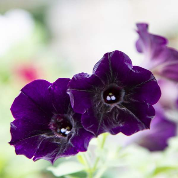 Image Of Petunia Trlg Imagination  Deep Magic